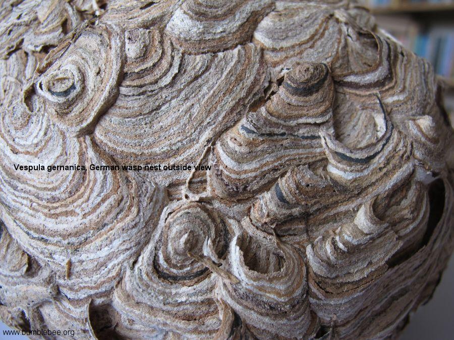 Social wasp nest