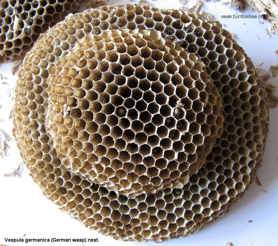 how honeybees choose a nest site essay Also, some bees who already have been scouts can choose to re-explore their own sites or the sites advertised by others  a matrix model for nest-site choice by.
