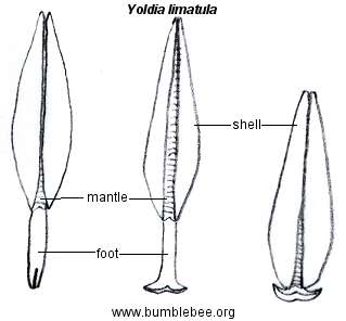 Yoldia limatula, bivalve showing method of locomotion