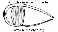 bivalve adductor muscle contracted