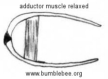 bivalve adductor muscle relaxed
