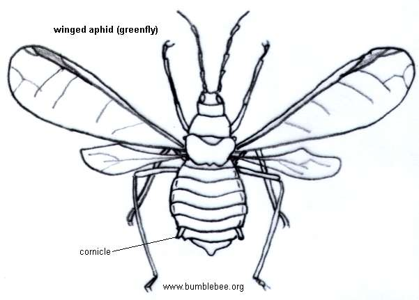 Aphid winged