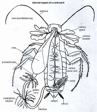 excretory system of cockroach Transcript of similarities and differences in animalia excretory systems similarities and differences in animal excretory systems taylor carswell leopard any liquids are taken through the urinary system the cockroach excretes uric acid.