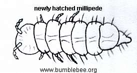 larval millipede newly hatched